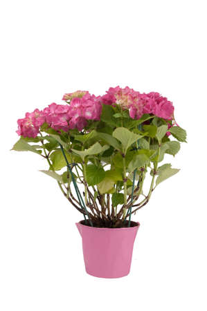 hydrangea flowers with a pink pot photo