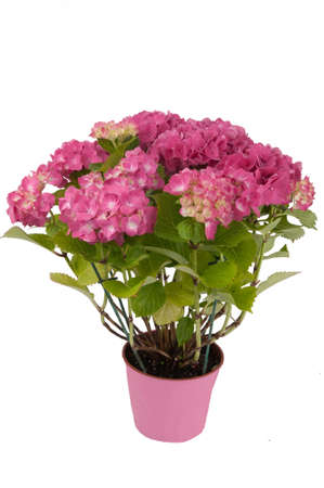 hydrangea flowers with a pink pot  top view 2