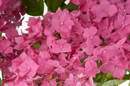 hydrangea flowers  close-up view  photo