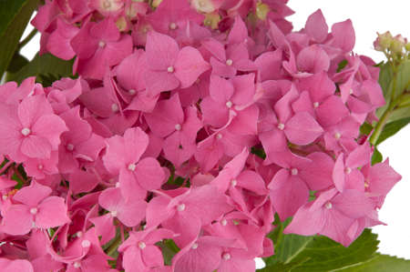 hydrangea flowers  close-up view