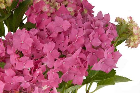 hydrangea flowers  close-up view