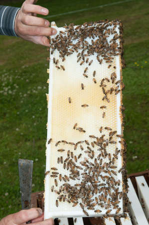 Beekeeper showing the top-bar beehive photo