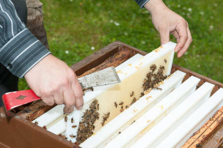 Beekeeper removing the top-bar beehive Stock Photo