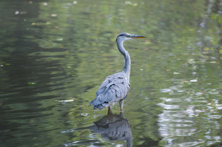 Grey Heron standing in a pond photo