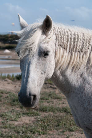 White Horse portrait and salt marsh Stock Photo