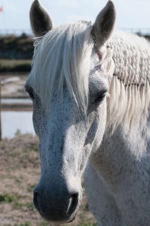 White Horse portrait and salt marsh  closeup view  photo