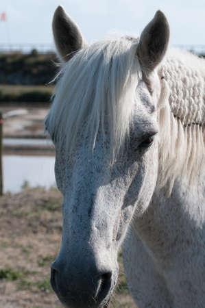 White Horse portrait and salt marsh  closeup view