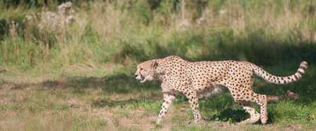 Cheetah walking from the right to the left