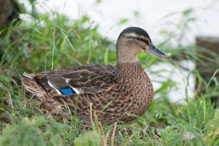 Beautiful Female Duck