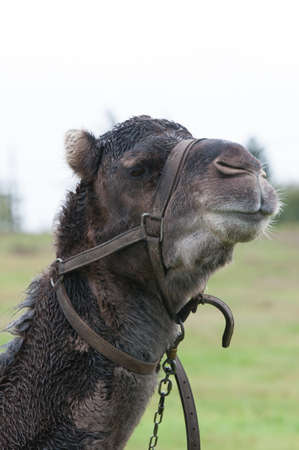 Portrait of Dromedary in the field Stock Photo