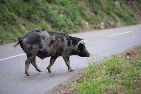 Corsica Pig on the road