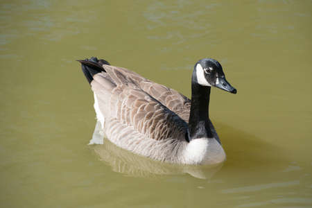 Canada Goose, Branta canadensis, in water  2