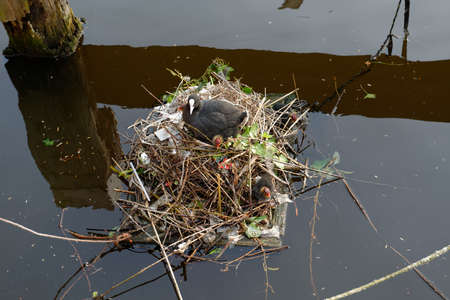 plastic pollution: Moorhen nest and plastic pollution