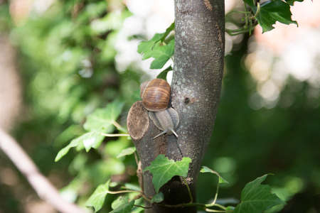 Snail of Bourgogne on a tree Stock Photo