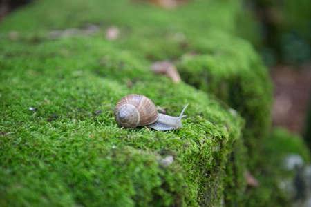 Snail of Bourgogne