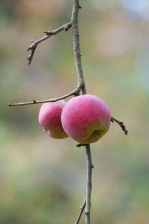 Red Cider Apple
