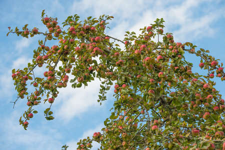 Tree branch full of Apples
