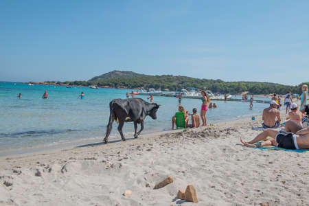 PALOMBAGGIA BEACH, CORSICAFRANCE - September 09 2014: Black cow on the Palombaggia Beach in Corsica, France 5
