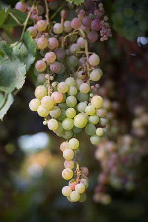 Bunches of grapes at a vineyard Stock Photo