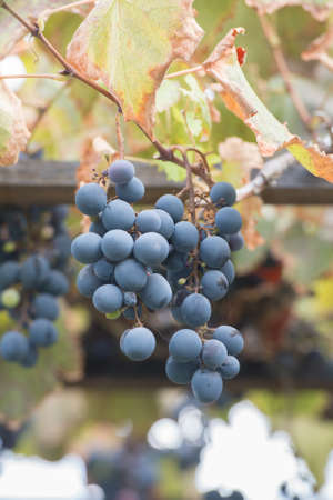 Bunches of grapes at a vineyard #7