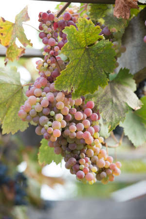 Bunches of grapes at a vineyard #4 Stock Photo