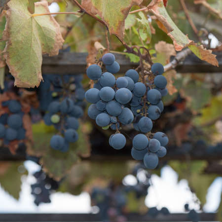 Bunches of grapes at a vineyard #6 Stock Photo