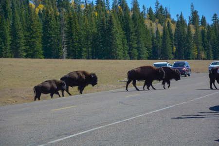 Wild Bisons crossing road Sequoia trees summer time blue sky