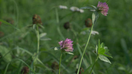 Red purple clover trefoil flowers trifolium pratense used in naturopathy close up view summe time in green grass 스톡 콘텐츠