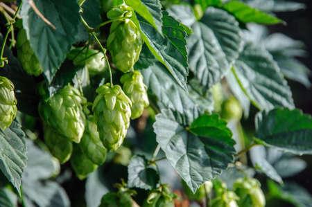hop hops: Hop plant  Humulus Lupulus  with hops flowers