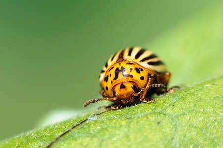Leptinotarsa decemlineata or Colorado potato beetle closeup photo