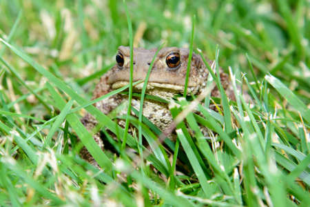 bufo toad: Closeup of an European common toad, bufo bufo, sitting in the grass