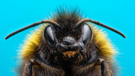 bombus: Extreme macro of bumblebee with blue background Stock Photo
