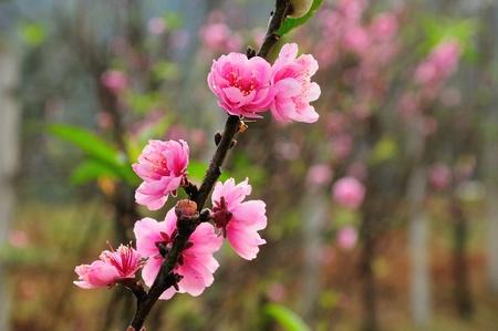 doi: Blossom at Doi angkhang