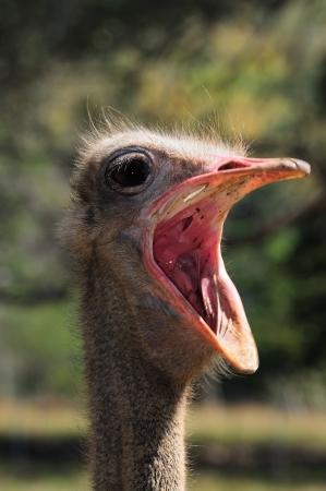 gasp: ostrich