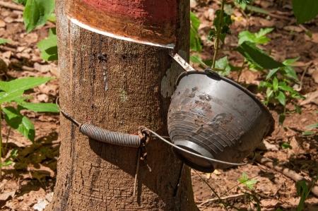 caoutchouc: rubber tree