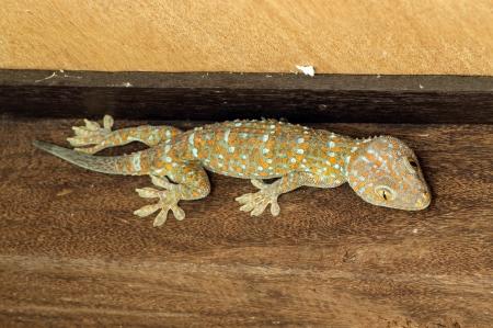 bugaboo: gecko