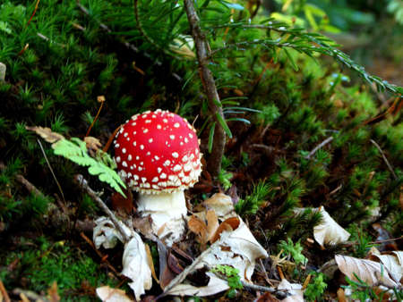 Amanita muscaria, a poisonous mushroom in a forest