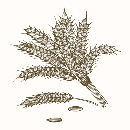 grain fields: Wheats Ears and Ripe Grain Hand Draw Sketch. Vector illustration