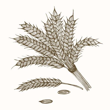 cornfield: Wheats Ears and Ripe Grain Hand Draw Sketch. Vector illustration