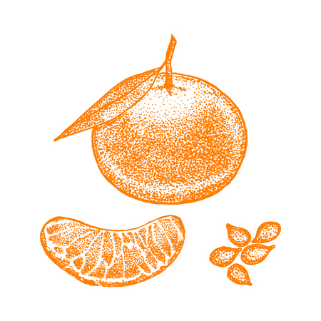 Mandarin with Leaves and Slice Hand Draw Sketch. Vector illustration
