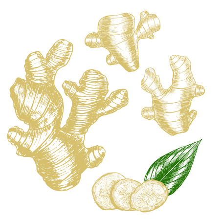 Ginger Hand Draw Sketch. Slices, Root and Leaves. Herbal Spice. Vector illustration