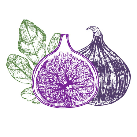葉の手でイチジクの果実は、スケッチを描きます。ベクトル図  イラスト・ベクター素材