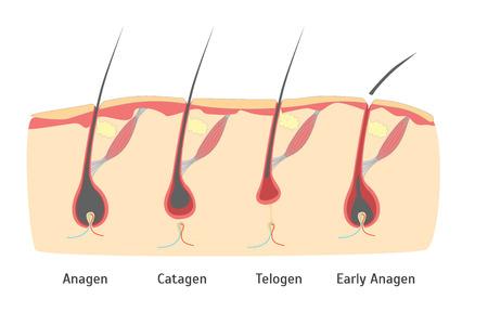 Human Head Hair Growth Cycle in Cut. Vector Ilustração