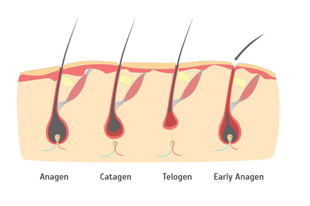 Human Head Hair Growth Cycle in Cut. Vector Illustration