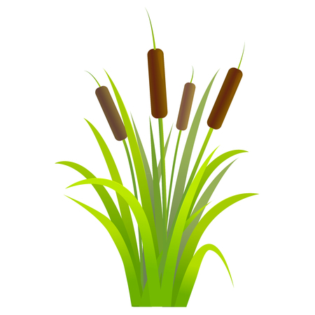 Water reed plant cattails green leaf.