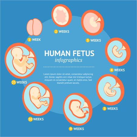 Ciąża Płód etap rozwoju rozwoju Infografika Menu. Wektor