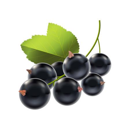 Realistische ausführliche reife schwarze Beeren-Korinthen-natürliches Saison-Sommer-Lebensmittel. Vektor-Illustration Vektorgrafik