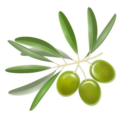 Realistic Detailed Color Olives Branch with Leaves.  vector illustration.