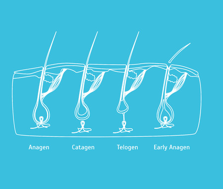 Human Head Hair Growth Cycle in Cut. vector illustration.
