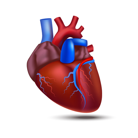 Realistic Detailed 3d Human Anatomy Heart. Vector Vettoriali